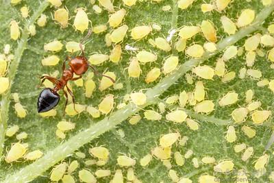 Crematogaster laeviuscula with aphids