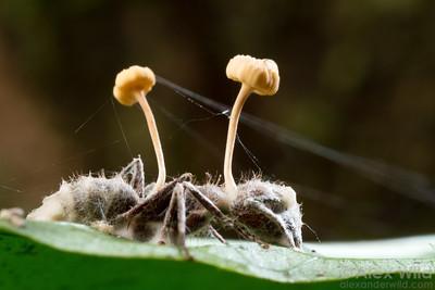 Ophiocordyceps lloydii
