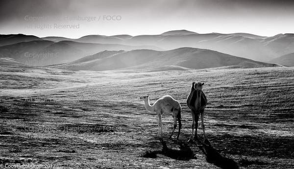Camels at dusk, Israel