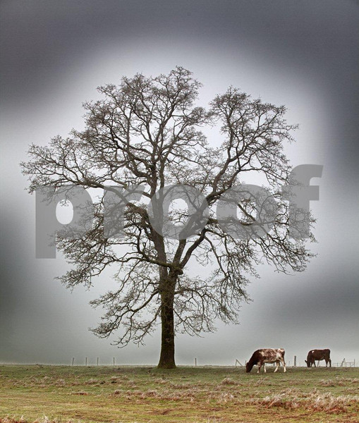 Oak & 2 cows 4277c_HDR