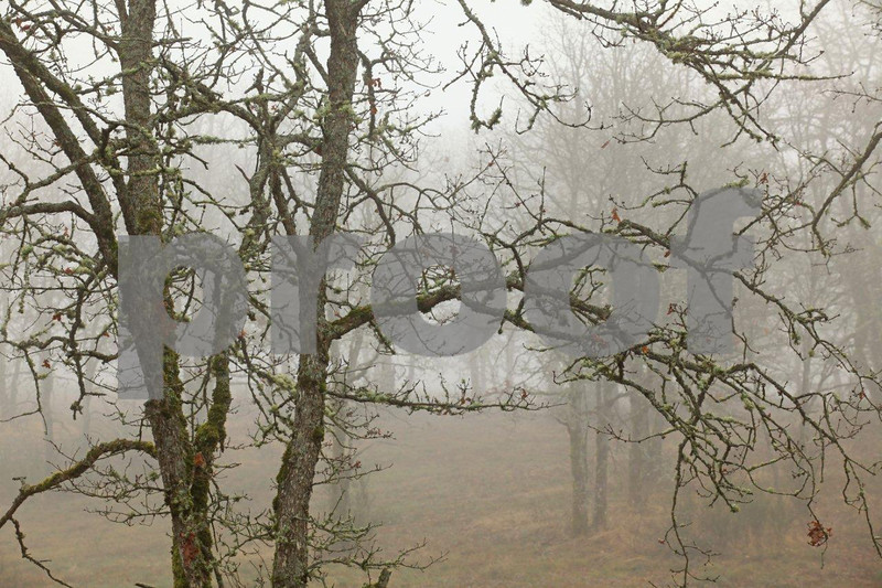 Oak branches 5634c