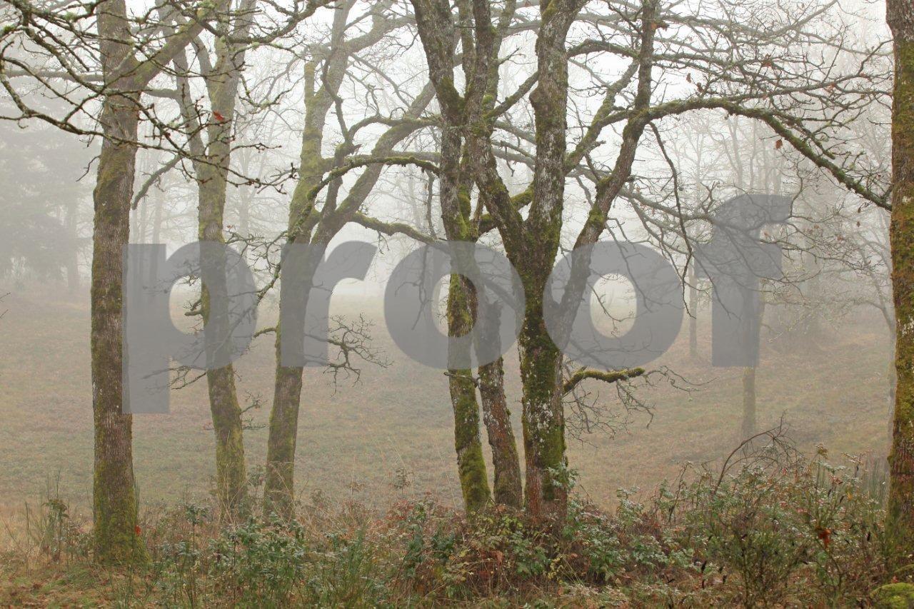 Oaks & fog 5624