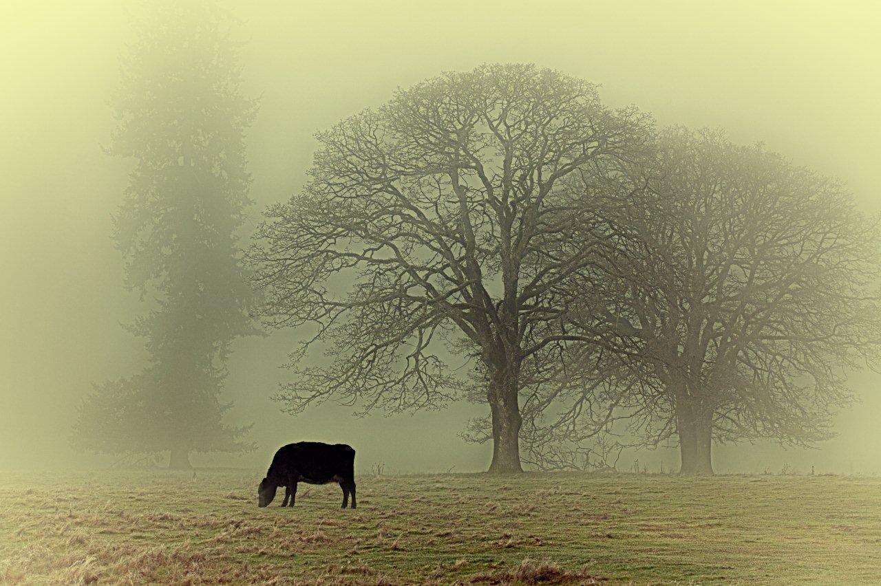 Oaks & cow 4243_HDR