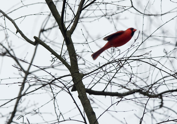A bright red male cardinal takes flight early Sunday morning, easy to pick out in the winter-grey surroundings at River Park North.