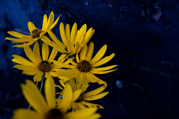 Daisies against blue background (Jenni Farrow)