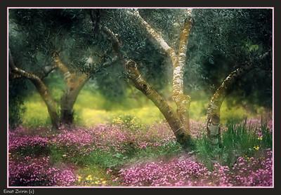 Rainbow Olive Grove