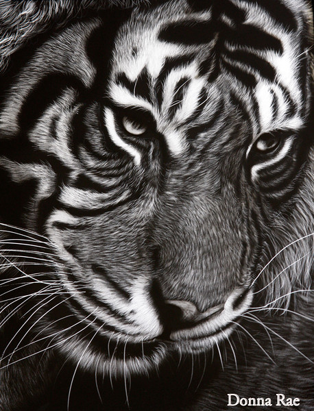 "Reference photo by Patrick Walker<br /> <br /> ""Another Panthera Tigres"" 11 x 14 Scratchbord."