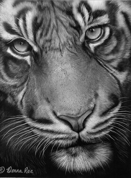 """ Tiger""  11 x 14 India Ink on Claybord.  <br />   Special thanks to Simon Whitehouse at  <a href=""http://www.oneworld-images.com/"">http://www.oneworld-images.com/</a>   for use of refer photo."