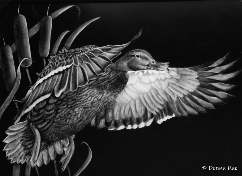"11 x 14 India Ink on Claybord  ""Duck in Flight"""