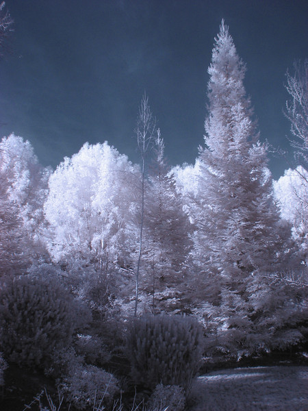 Infrared image of backyard, color inversion,