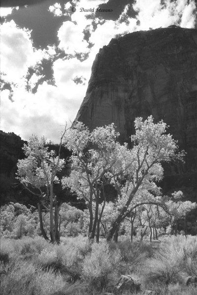Zion trees