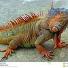 //www.dreamstime.com/stock-image-reptiles-iguana-colourful-farm-honduras-image47908571