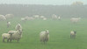 Sheep in the mist Mountains of Mourne, Ireland