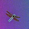 Dragonfly in flight Kellum Creek, Tennessee