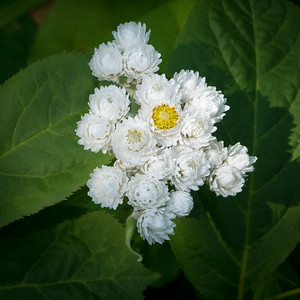 Pearly Everlasting, Isle Royale National Park, Michigan