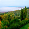 Tuscany Olive Grove.. Hilltop city, San Gimignano in the distant with the fog in the valley.