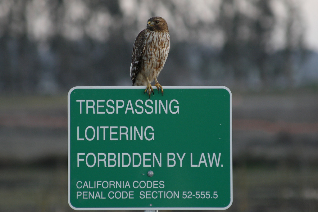 Trespassing Hawk