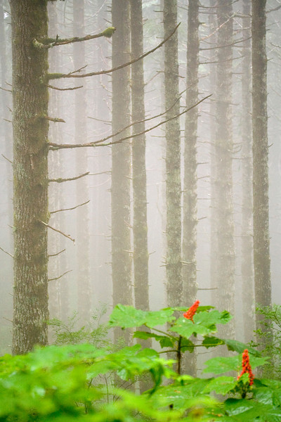 Red Flowers and Fog on Saddle Mountain Trail - Columbia River Gorge - Oregon