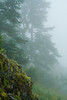 Moody Fog and Evergreens on Saddle Mountain Trail - Columbia River Gorge, Oregon