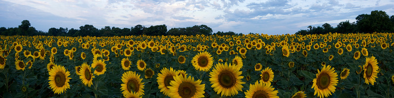 Panorama of Sunflower Field in Maryland