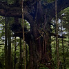 Transcendence<br /> This ancient tree is unfathomably large - a clue to it's size being the root on the bottom right that looks like a car tire.  Spires that are whole trees in themselves arise from its limbs resembling a giant candelabra.