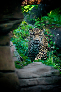 One of Woodland Park Zoo's jaguars makes a daily habit of pacing her habitat in anticipation of a hearty lunch. Photo by Jared Rogers