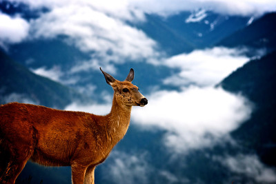 "Life on the Edge: This Doe was photographed on 5,242ft at Hurricane Ridge in the Olympic National Park. ""Life at Hurricane Ridge is shaped by wind and snow. Over 75 mile an hour gusts buffet the ridge, lending the name ""Hurricane."" The 30-35 feet of snow that falls annually lingers into summer, shaping life year-round. Its weight challenges trees; its persistence maintains open meadows."" - National Park Service www.NPS.gov Photo by Jared Rogers"
