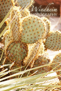Sun-soaked Prickly Pear Cactus