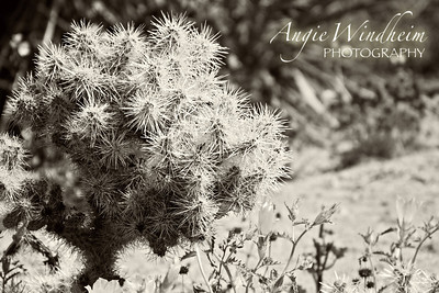 A Silver Cholla in Joshua Tree National Park