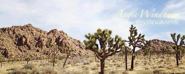 Twisted, spiky trees straight out of a Dr. Seuss book...these are the Joshua Trees of Joshua Tree National Park.