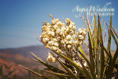A flowering Yucca in Joshua Tree National Park