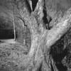 Chestnut Cove Tree No. 4