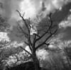 Buck Springs Gap - Witch's Broom Tree