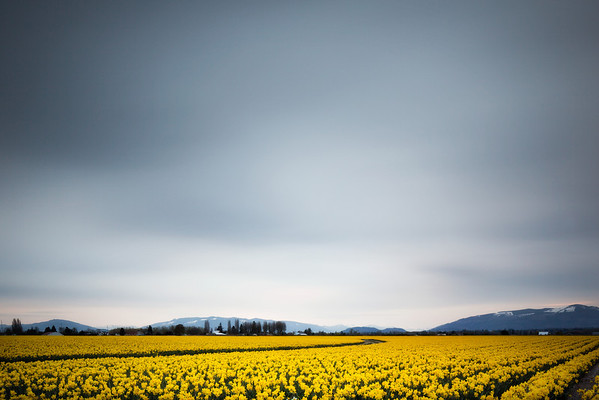 Daffodil fields in Washington. © 2012 Nicole S. Young