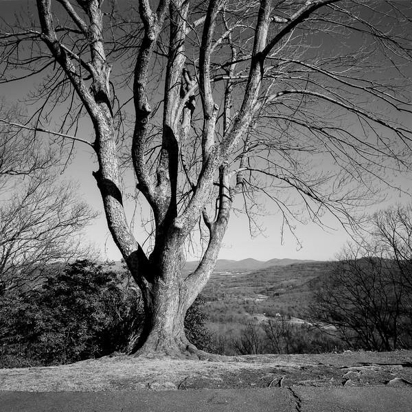 Chestnut Cove Tree No. 3