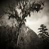 Creepy Tree<br /> -Edge of the Savannah River