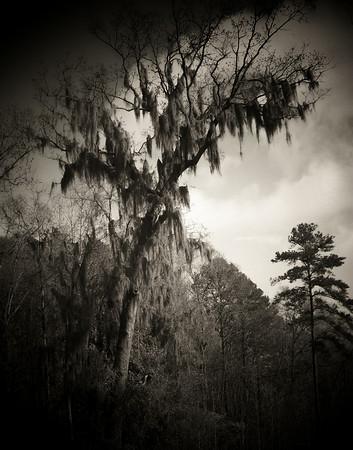 Creepy Tree -Edge of the Savannah River