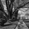 Church Street Tree No. 1