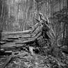 Rattlesnake Lodge Trail-Fallen Tree No. 1
