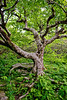 This is a portrait of a beech tree on the trail to Craggy Pinnacle. It always reminds me of one of the trees in 'The Wizard of Oz'. It looks almost as if it could come to life at any moment. I love the way the limbs look like they're holding up the sky in this photo. Catawba Rhododendrons are slightly visible in the background.