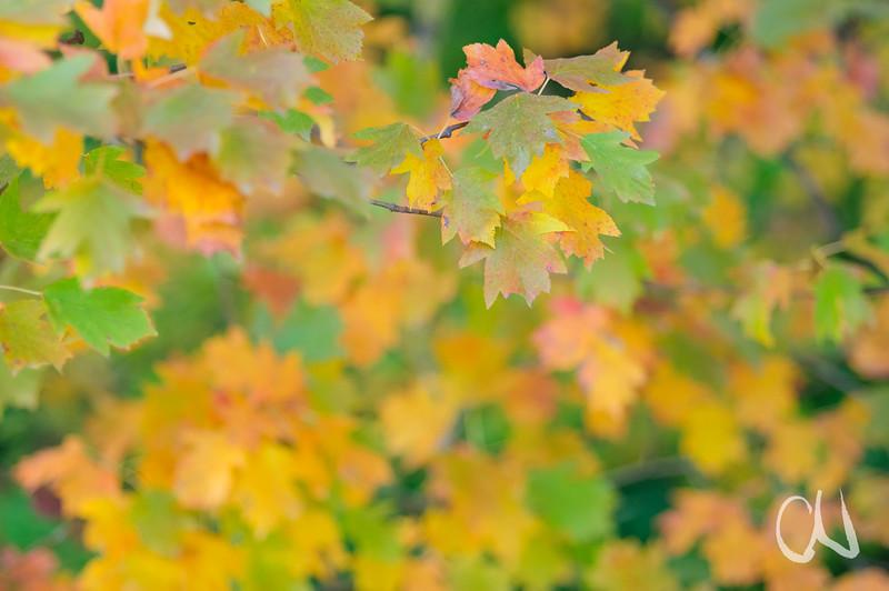 Sorbus torminalis, autumn