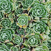 Saxifraga succulent leaves