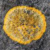 Gewöhnliche Gelbflechte auf Fels, Xanthoria parietina, Reusten, Deutschland