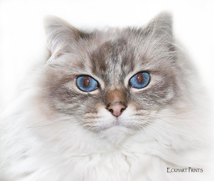 Cloe is a special cat! Her beautiful blue eyes just draw you in.