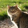 This is Kitty! She is a typical Maine Coon cat. Full of fun and spooky!