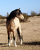 """Dapper Dan""<br /> <br /> Rachael Waller Photography 2009<br /> Wild horses/Mustangs"
