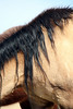 Untouched Perfection 2<br /> <br /> Spanish Mustang<br /> Rachael Waller Photography 2009