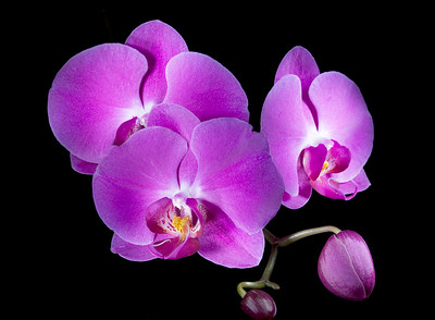 This is a 73 second exposure of a Phalenopsis Orchid, painted with a narrow focus, white LED flashlight.