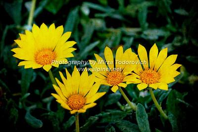 Fiori Gialli - latc_0041