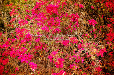 Bougainvillea at Abalone Cove -  latc_0039